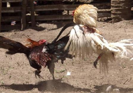 cock fighting in oklahoma